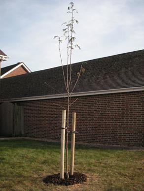 tree-surgeon-tree-planting